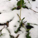 Как я укрываю садовую землянику (клубнику) осенью на зиму
