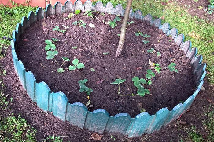 садовая земляника (клубника), мульчирование почвы под рассадой клубники
