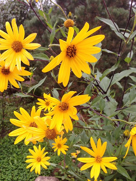 цветки топинамбура, лечебные свойства цветков топинамбура, красивые цветки топинамбура