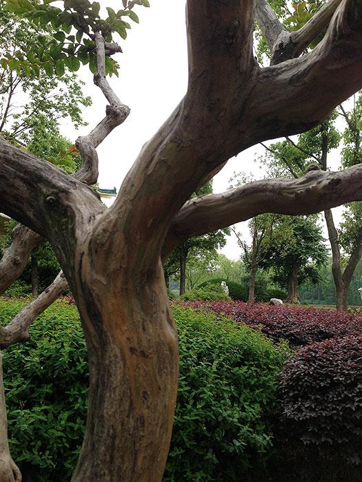 ствол дерева, китайский вариант формирования деревьев