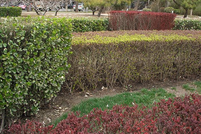 Китай, живая изгородь, двухярусная живая изгородь в Китае, формирование кустарника в Китае
