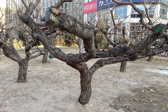 Китай, формирование деревьев, дерево в Китае, результат обрезки деревьев в Китае