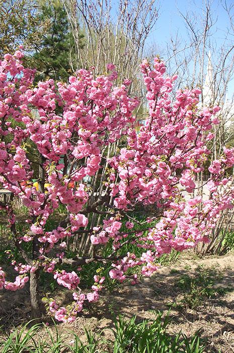 Китай весной, цветущее дерево в Китае