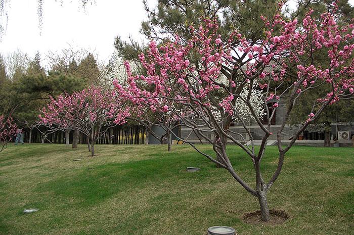 Китай весной, цветение магнолии, формирование деревьев в Китае