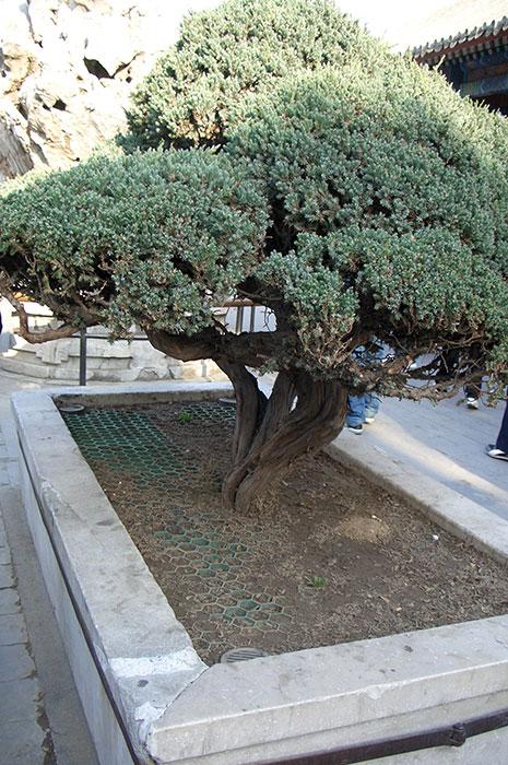 садовый бонсай, формирование деревьев, Китай - формирование хвойных