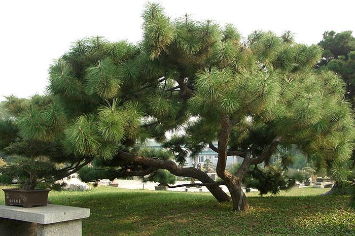 формирование сосен в Китае, китайский вариант формирования деревьев, ажурная крона дерева, фасонистая стрижка кроны дерева, Китай, дерево, фигурная стрижка дерева