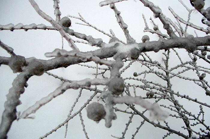 лиственница, размножение лиственницы семенами, ледяной дождь, шишка лиственницы, шишка лиственницы с хохолком