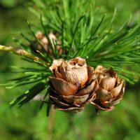 Размножаем лиственницу семенами в домашних условиях
