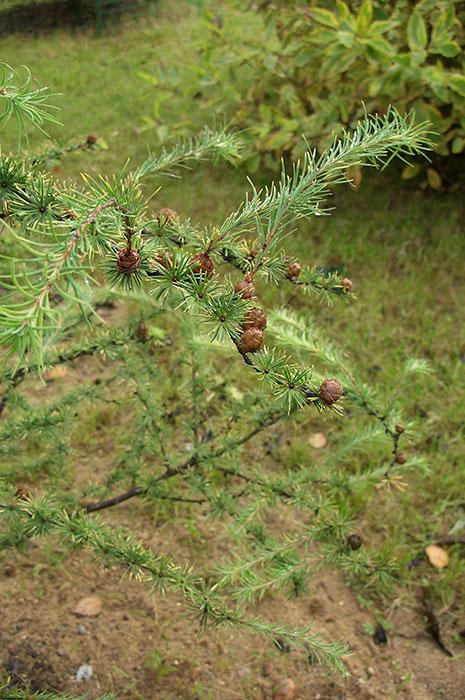 лиственница, размножение лиственницы семенами, шишка лиственницы, шишка лиственницы с хохолком
