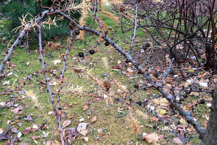 лиственница, хвоя лиственницы, размножение лиственницы семенами, шишка лиственницы, шишка лиственницы с хохолком