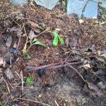 Обрезаем и укрываем травянистые пионы и Ито-гибриды на зиму