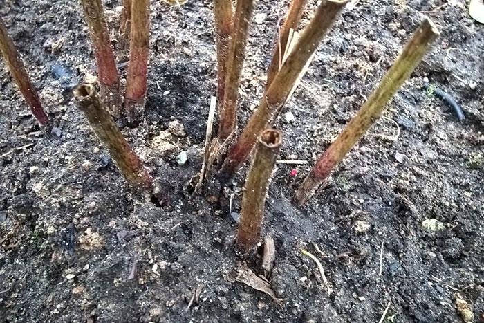 обрезка травянистого пиона на зиму, обрезка пиона, подготовка пиона к зимовке