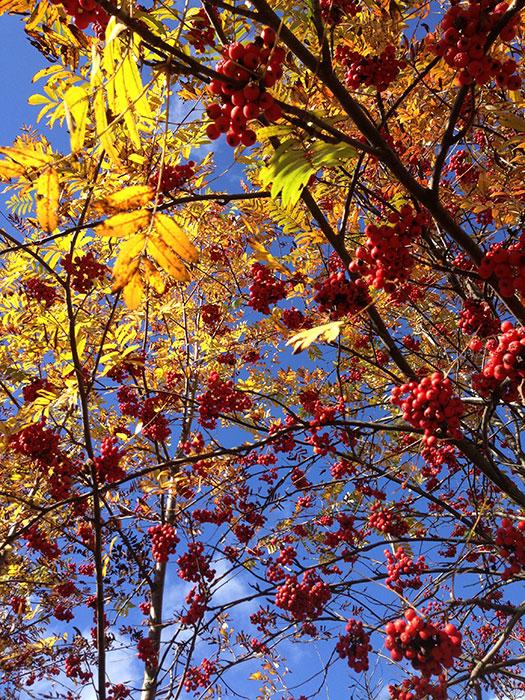 ягоды рябины - пища дрозда-рябинника, питание рябинника