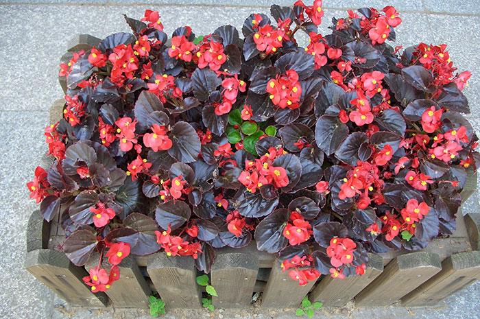 Begonia semperflorens, бегония всегдацветущая, бегония вечноцветущая, выращивание бегонии вечноцветущей, бегония вечноцветущая на участке, цветки бегонии вечноцветущей