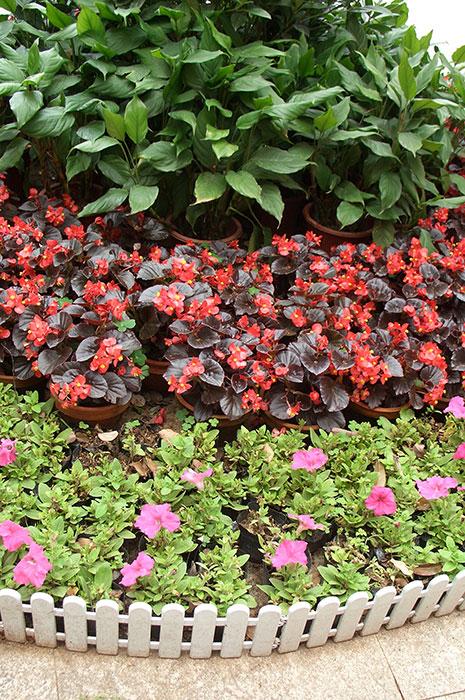 Begonia semperflorens, бегония всегдацветущая, бегония вечноцветущая, выращивание бегонии вечноцветущей, бегония всегдацветущая в ландшафтном дизайне, цветки бегонии вечноцветущей