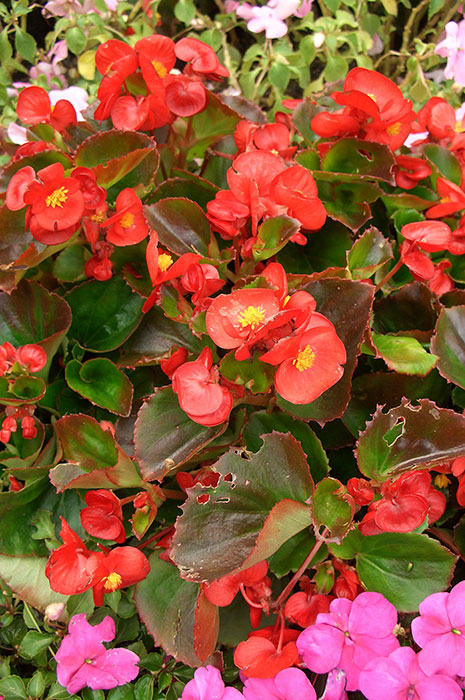 Begonia semperflorens, бегония всегдацветущая, бегония вечноцветущая, выращивание бегонии вечноцветущей, бегония вечноцветущая из семян, цветки бегонии вечноцветущей