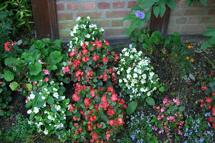Begonia semperflorens, бегония всегдацветущая, бегония вечноцветущая, выращивание бегонии вечноцветущей, бегония вечноцветущая в открытом грунте, цветки бегонии вечноцветущей