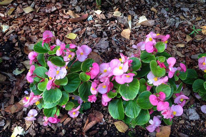 Begonia semperflorens, бегония всегдацветущая, бегония вечноцветущая, выращивание из семян бегонии вечноцветущей, выращивание бегонии вечноцветущей, цветки бегонии вечноцветущей