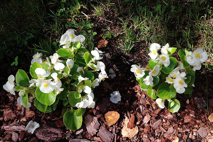 Begonia semperflorens, бегония всегдацветущая, бегония вечноцветущая, выращивание бегонии вечноцветущей, цветки бегонии вечноцветущей