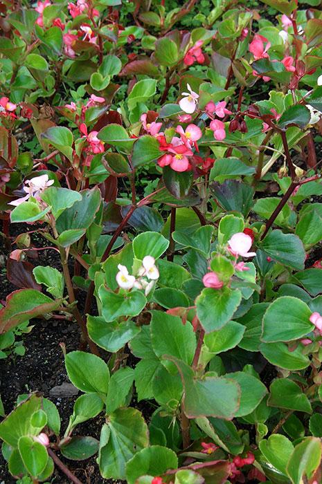 Begonia semperflorens, бегония всегдацветущая, бегония вечноцветущая, выращивание бегонии вечноцветущей, черенкование бегонии вечноцветущей, цветки бегонии вечноцветущей