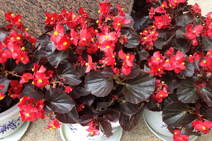 Begonia semperflorens, бегония всегдацветущая, бегония вечноцветущая, выращивание бегонии вечноцветущей, бегония всегдацветущая в доме, бегония вечноцветущая в цветочных горшках, бегония вечноцветущая как комнатное растение, цветки бегонии вечноцветущей