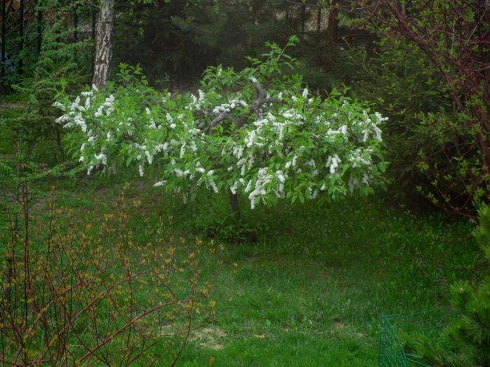 черёмуха обыкновенная, садовый бонсай из черёмухи, формирование черёмухи, как сформировать черёмуху, черёмуха на участке, черёмуха обыкновенная в саду, выращивание черёмухи, лишайник на черёмухе, болезни и вредители черёмухи, цветение черёмухи