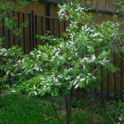 Формирование и выращивание черёмухи обыкновенной
