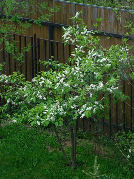 черёмуха обыкновенная, садовый бонсай из черёмухи, формирование черёмухи, как сформировать черёмуху, черёмуха на участке, черёмуха обыкновенная в саду, выращивание черёмухи, болезни и вредители черёмухи