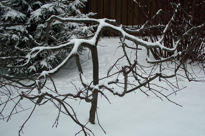 черёмуха обыкновенная, садовый бонсай из черёмухи, формирование черёмухи, как сформировать черёмуху, черёмуха на участке, черёмуха обыкновенная в саду, выращивание черёмухи, лишайник на черёмухе, зимовка черёмухи обыкновенной, болезни и вредители черёмухи