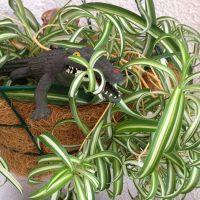 Выращивание декоративных видов хлорофитума в домашних условиях