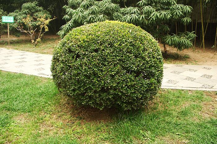 вечнозелёный самшит, виды и сорта самшита, буксус, топиарий, стрижка самшита, формирование кроны самшита