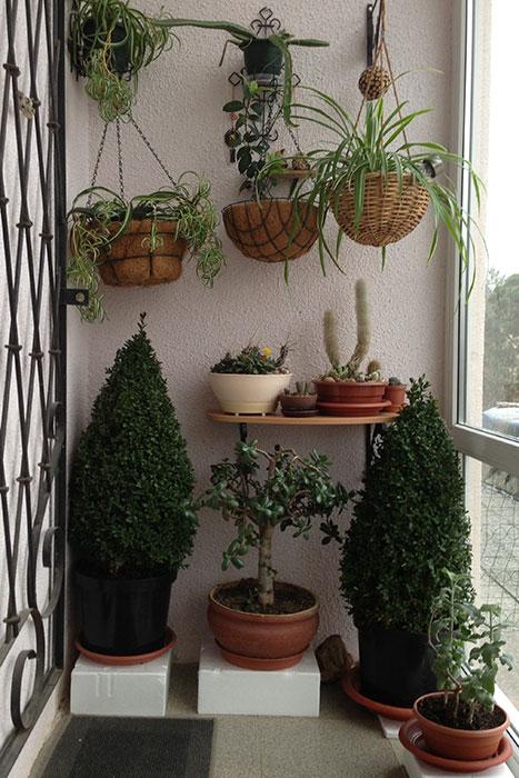 самшит, виды и сорта самшита, топиарий, стрижка самшита, зимовка самшита, самшит в доме, выращивание самшита в горшках, самшит в зимнем саду, самшит в Подмосковье, формирование кроны самшита