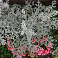Цинерария приморская (серебристая): декоративность, сорта, выращивание и размножение