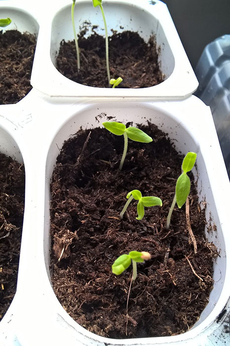 баклажан, рассада баклажанов, посев семян баклажанов, уход за рассадой баклажан