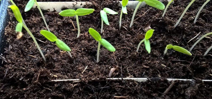 Выращивание рассады баклажанов: сроки, уход и сорта для Подмосковья