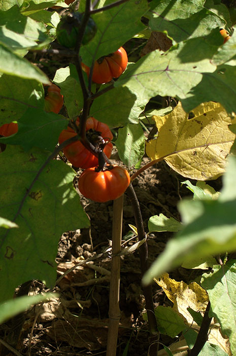 баклажаны, декоративные баклажаны, плоды баклажанов