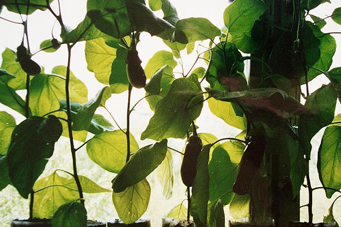 рассада баклажанов, выращивание рассады баклажанов, сроки посева семян баклажанов на рассаду, плодоношение баклажанов на подоконнике