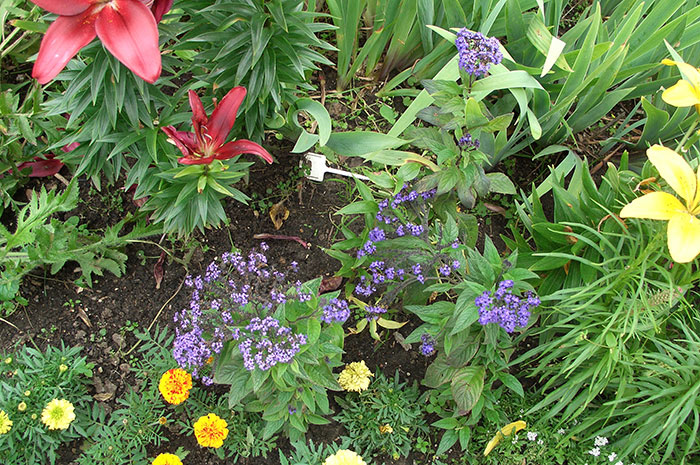 гелиотроп перуанский, выращивание гелиотропа, гелиотроп в цветнике, гелиотроп на участке, выращивание гелиотропа из семян