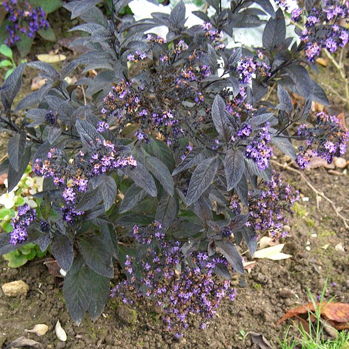 гелиотроп перуанский, выращивание гелиотропа, гелиотроп на участке, выращивание гелиотропа из семян