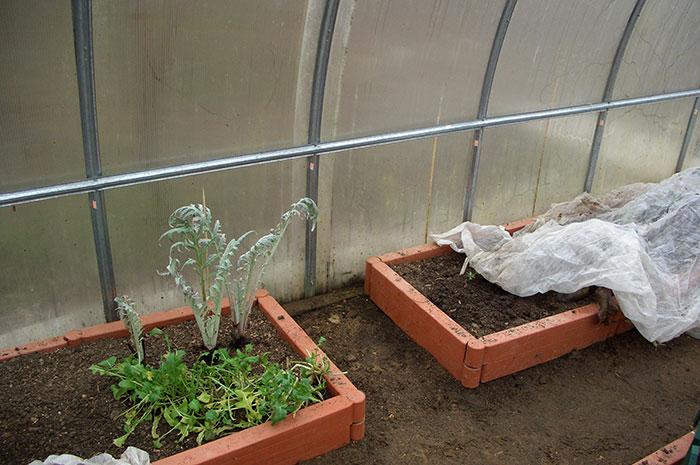 теплица из сотового поликарбоната, рукола в теплице, совместное выращивание овощей в теплице