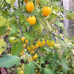 Выращиваем огурцы и томаты в одной теплице, но не кладём их в одну тарелку