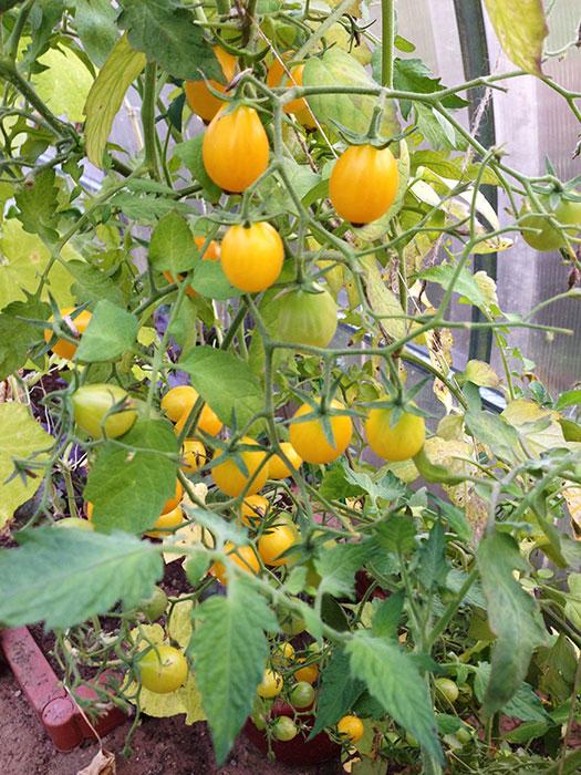 урожай томатов, помидоры в теплице, выращивание томатов в теплице, томаты в теплице, огурец и томат в одной теплице,