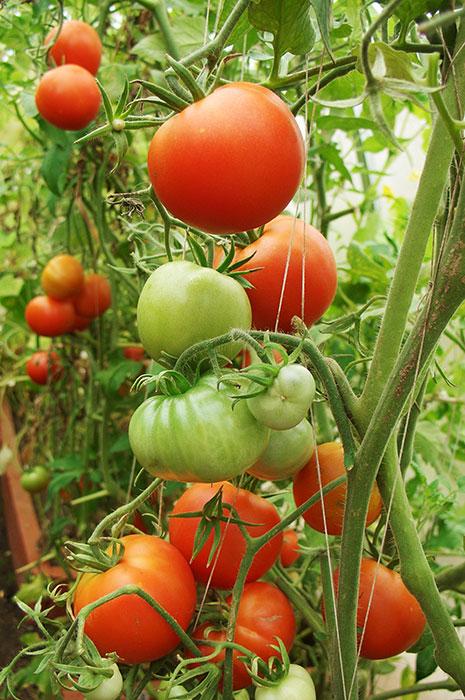 томат в теплице, выращивание помидоров, выращивание помидоров в теплице, томат в теплице, огурец и томат в одной теплице,