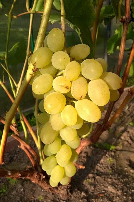 """виноград в Подмосковье, выращивание винограда в Подмосковье, плоды винограда в Подмосковье, урожай винограда в Подмосковье, виноград """"Августин"""", треснувшая кожица винограда, выращивание винограда в теплице"""
