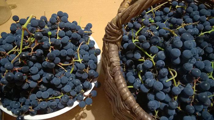 """виноград в Подмосковье, выращивание винограда в Подмосковье, плоды винограда в Подмосковье, урожай винограда в Подмосковье, выращивание винограда в теплице , виноград сорта """"Хасанский"""" и """"Альфа"""""""