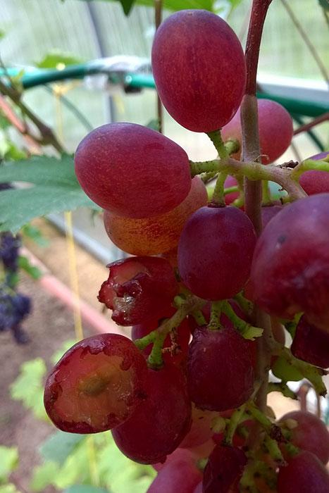 """виноград сорта """"Виктория"""", осы в винограднике, виноград в Подмосковье, выращивание винограда в Подмосковье, плоды винограда в Подмосковье, урожай винограда в Подмосковье, выращивание винограда в теплице"""
