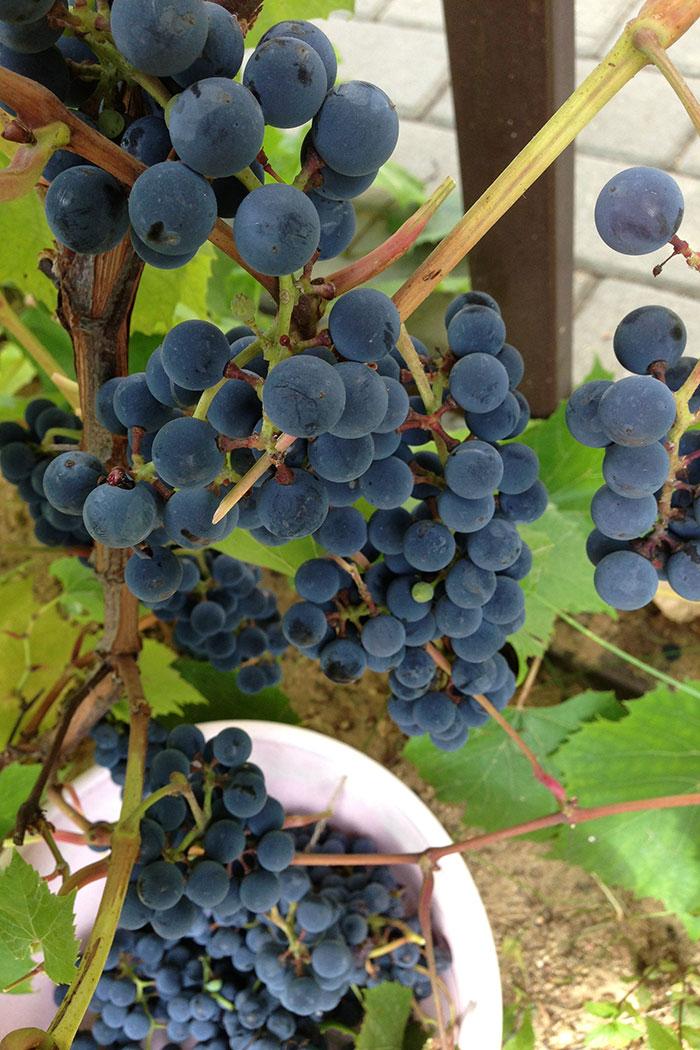 """Выращивание винограда в Подмосковье, урожай ягод подмосковного винограда, виноград сорта """"Альфа"""", виноград у арки"""