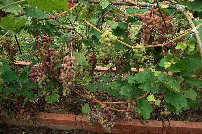 виноград в Подмосковье, выращивание винограда в Подмосковье, плоды винограда в Подмосковье, урожай винограда в Подмосковье, выращивание винограда в открытом грунте, подмосковный виноград, укрытие винограда на зиму