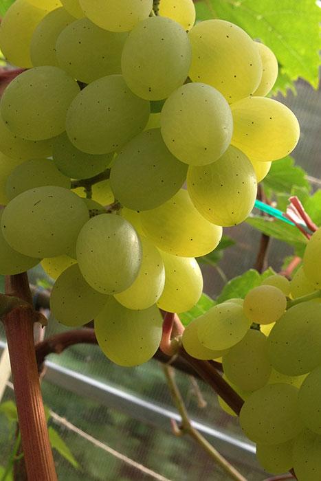 """виноград в Подмосковье, выращивание винограда в Подмосковье, плоды винограда в Подмосковье, урожай винограда в Подмосковье, выращивание винограда в теплице, сорт винограда """"Августин"""""""