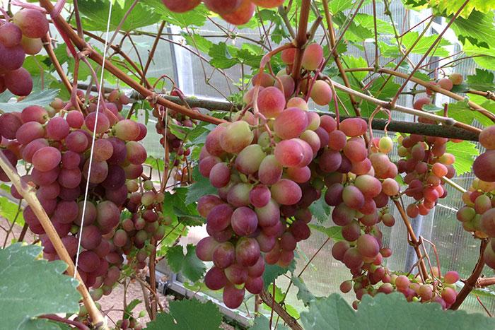 """виноград в Подмосковье, выращивание винограда в Подмосковье, плоды винограда в Подмосковье, урожай винограда в Подмосковье, виноград сорта """"Виктория"""", выращивание винограда в теплице"""